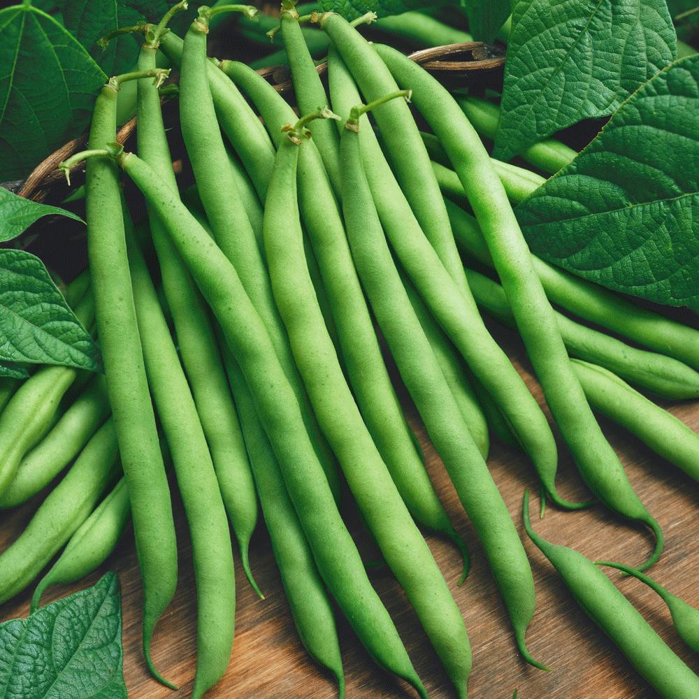 Green Bean Seeds  160 Provider Green Bean Seeds Gold Vault Jumbo Seed