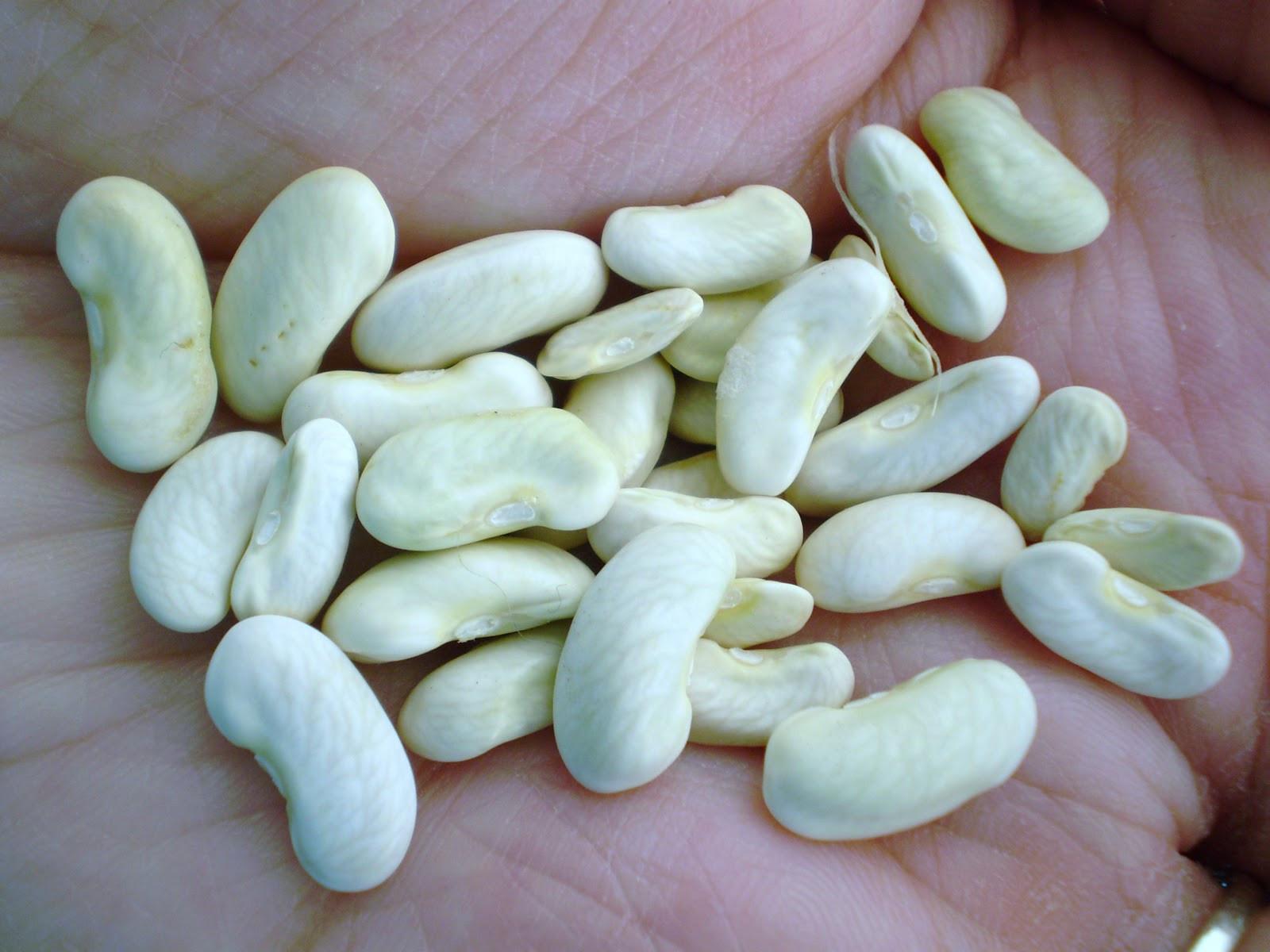Green Bean Seeds  Green Jean bean seed
