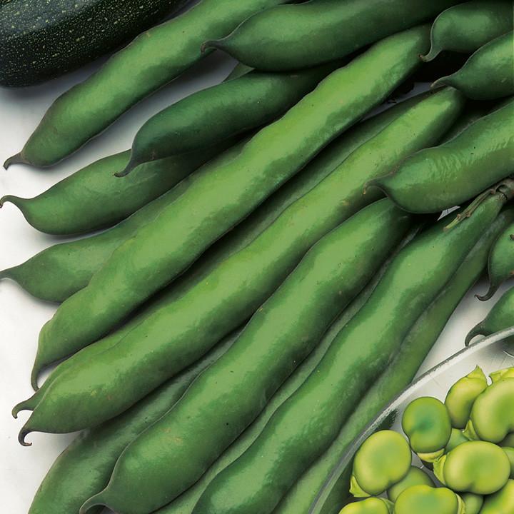 Green Bean Seeds  Broad Bean Seeds Imperial Green Longpod Dobies