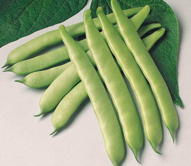 Green Bean Seeds  Green Bean Seed Furano Green Bean Seeds Fresh Seed FREE