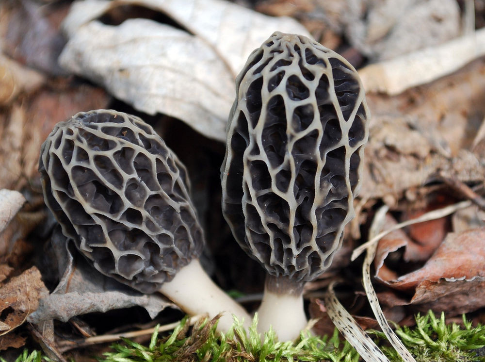 How To Grow Morel Mushrooms  25 g GRAY MOREL Spawn Morchella tomentosa Mushroom Seeds