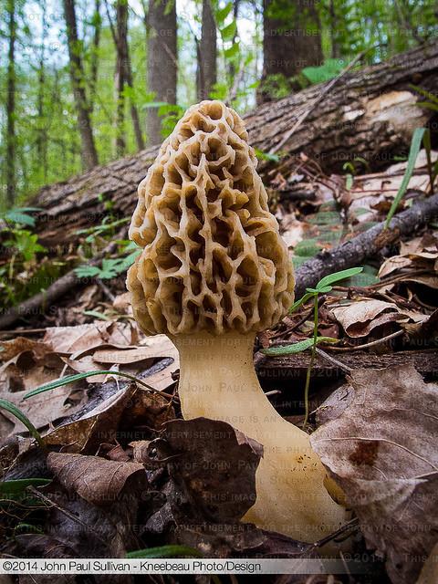How To Grow Morel Mushrooms  Morel Mushroom growing in the woods