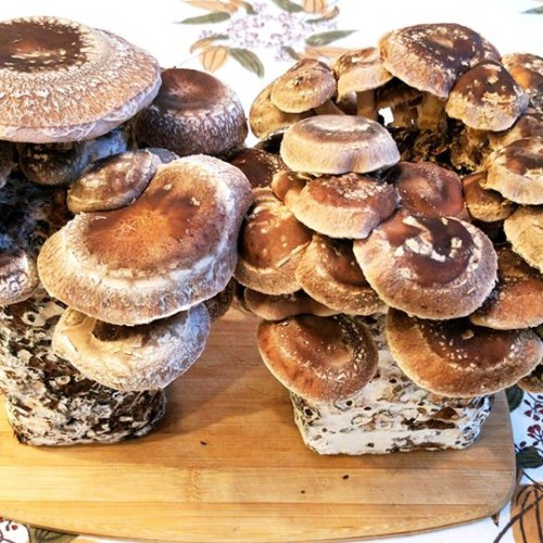 How To Grow Morel Mushrooms  morel mushroom growing kit