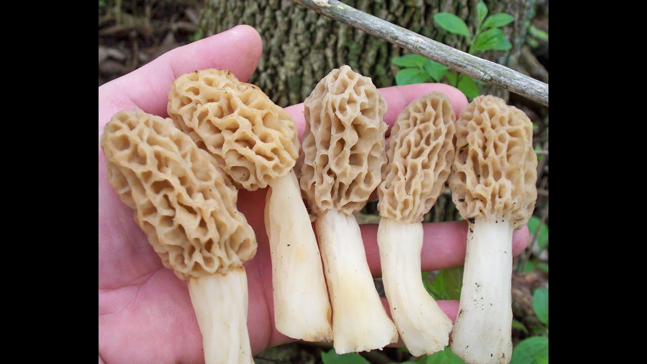 How To Grow Morel Mushrooms  Morel Mushroom Growth Part 2