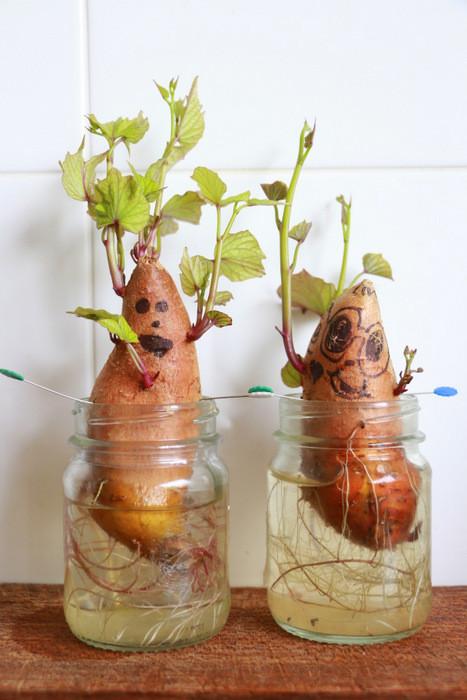 How To Grow Sweet Potato Slips  Sweet potato heads How to grow sweet potato slips