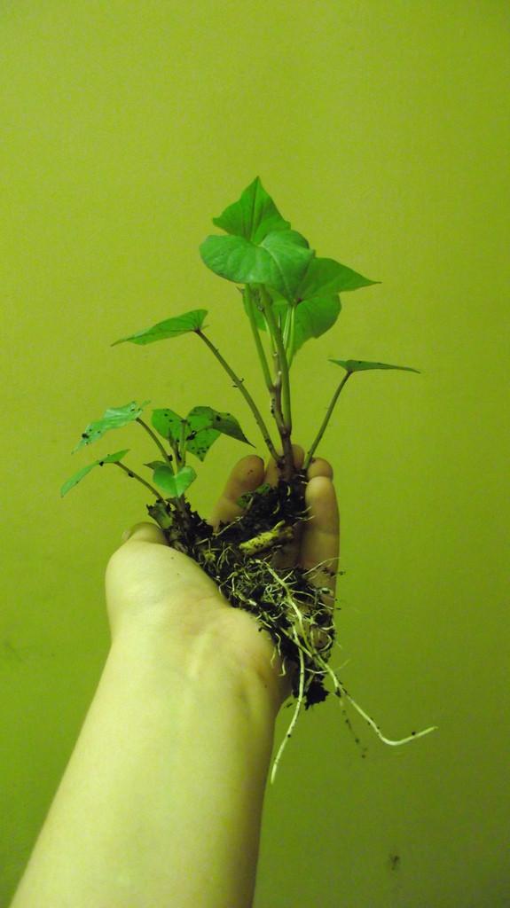 How To Grow Sweet Potato Slips  Sweet potato slips