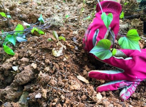 How To Grow Sweet Potato Slips  how to grow sweet potato slips This Natural Dream