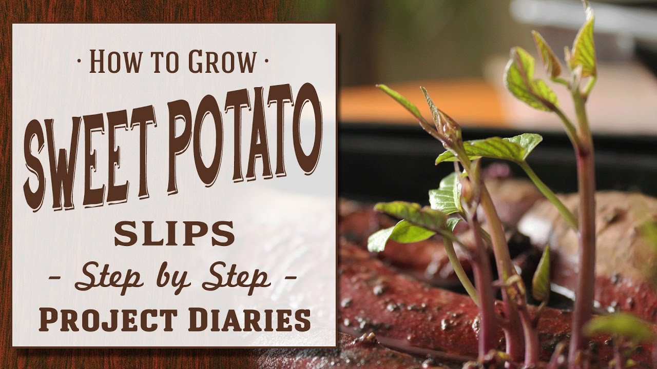How To Grow Sweet Potato Slips  How to Grow Sweet Potato Slips A plete Step by Step