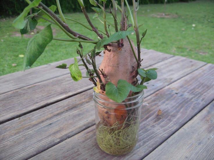 How To Grow Sweet Potato Slips  Sweet Potato vine always fun to do