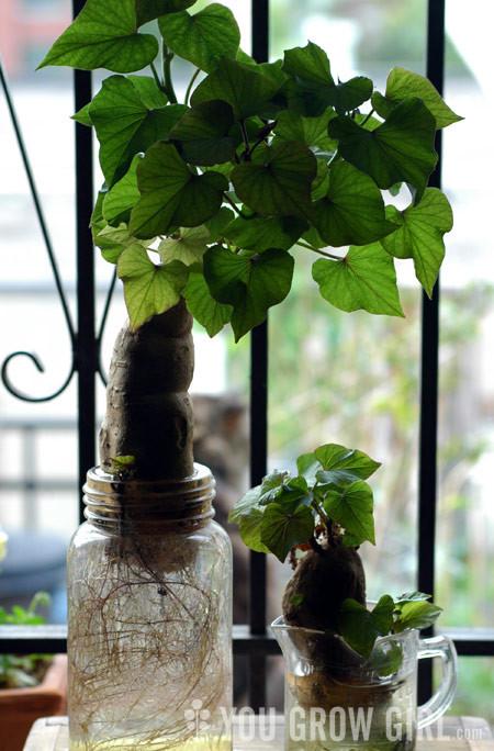 How To Grow Sweet Potato Slips  Self Reliant Network How to Plant Grow & harvest Sweet