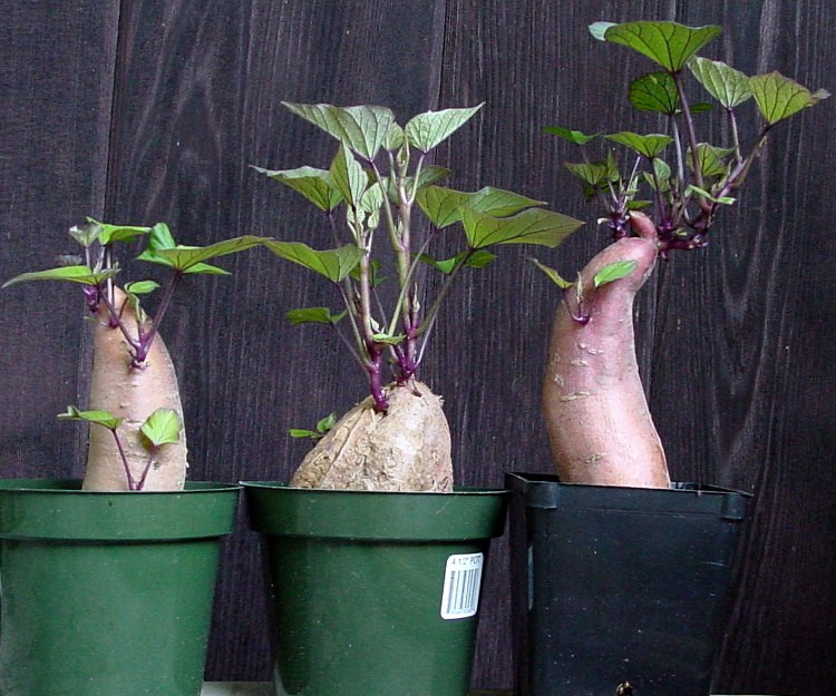 How To Grow Sweet Potato Slips  Growing Sweet Potatoes How to start your own slips