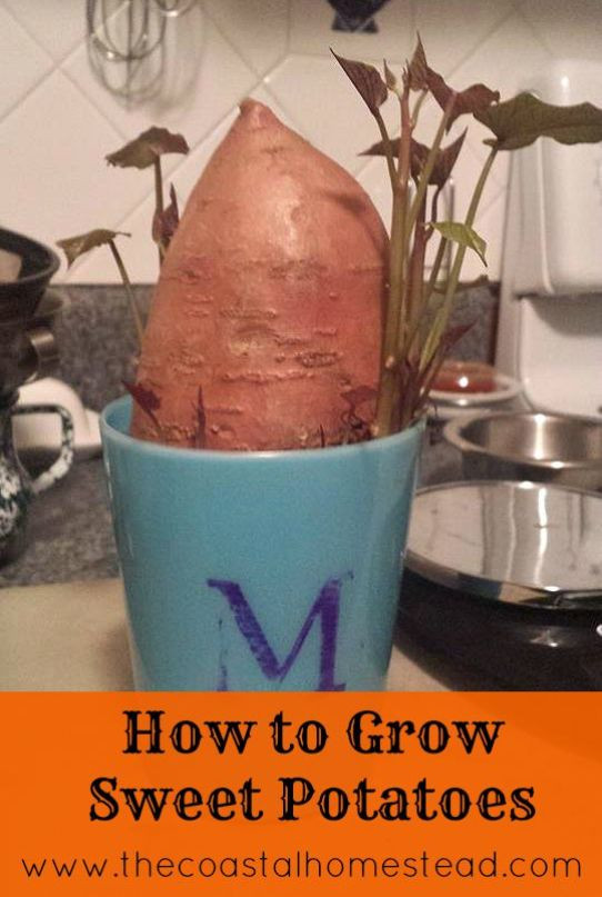 How To Grow Sweet Potato Slips  How To Grow Sweet Potatoes In 5 Easy Steps My Homestead
