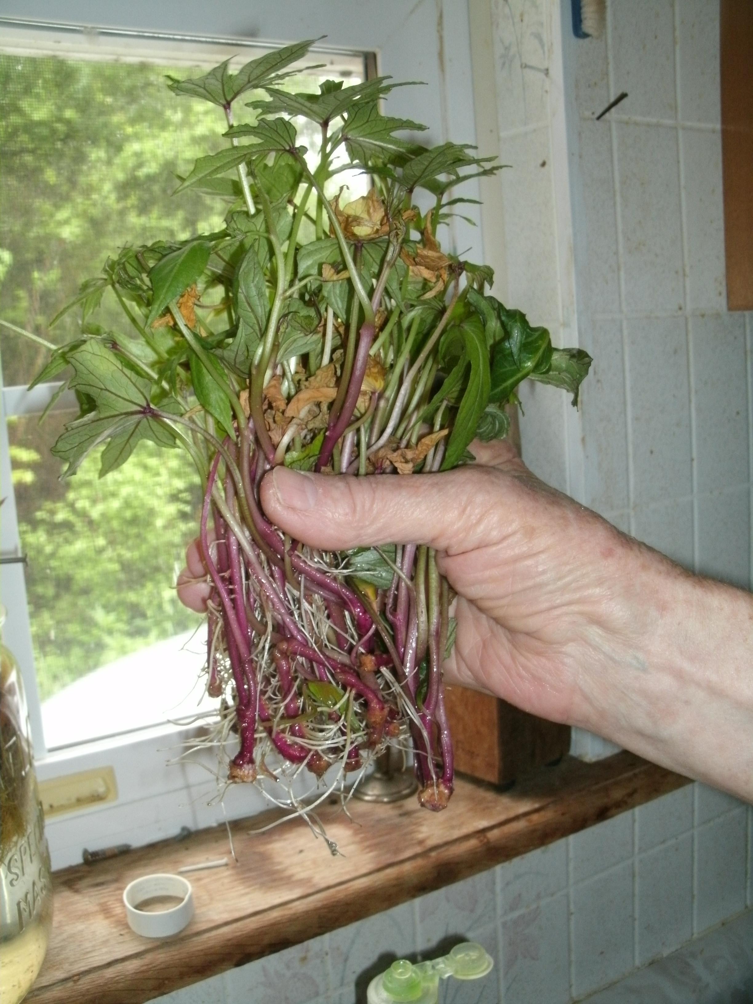 How To Grow Sweet Potato Slips  Sweet Potato Garden FAIL that Tastes so Good