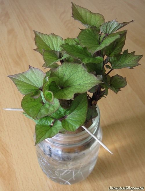 How To Grow Sweet Potato Slips  Sweet Potato Slip DIY Gardening 2 Pinterest