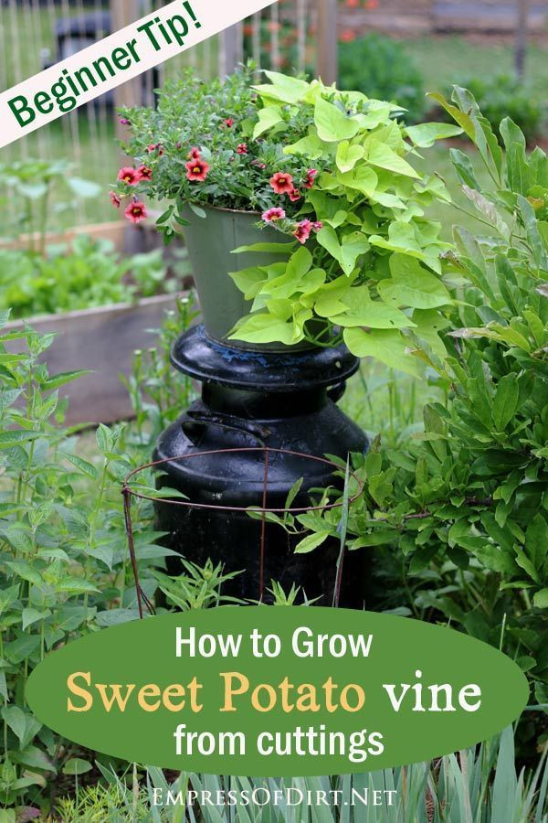 How To Grow Sweet Potato Vine  17 Best images about How does your garden grow on