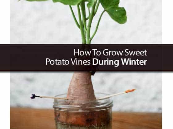How To Grow Sweet Potato Vine  How To Grow Sweet Potato Vines During Winter