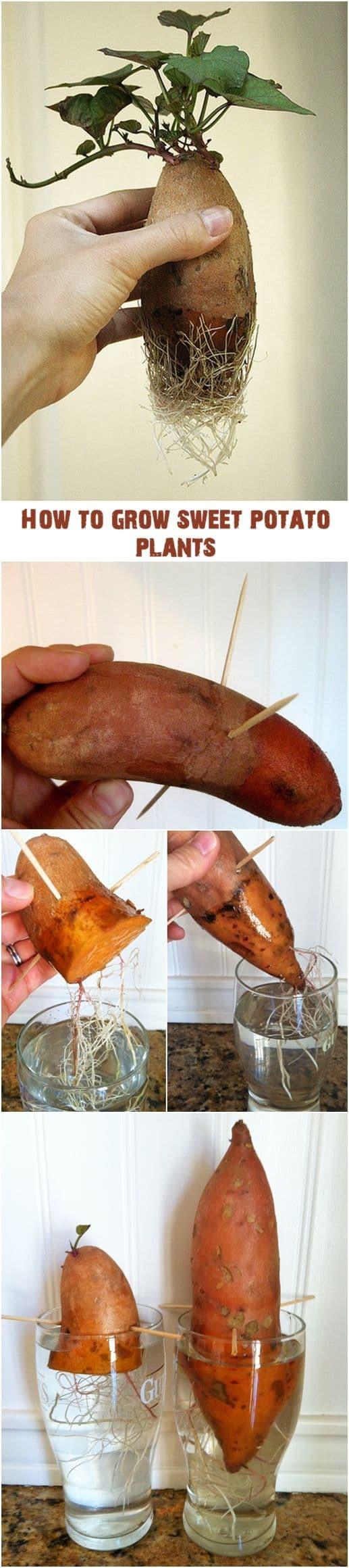 How To Grow Sweet Potato Vine  How To Grow Sweet Potato Vines From Tubers Video
