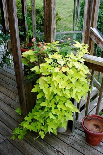How To Grow Sweet Potato Vine  How to Grow An Old Fashion Sweet Potato Vine