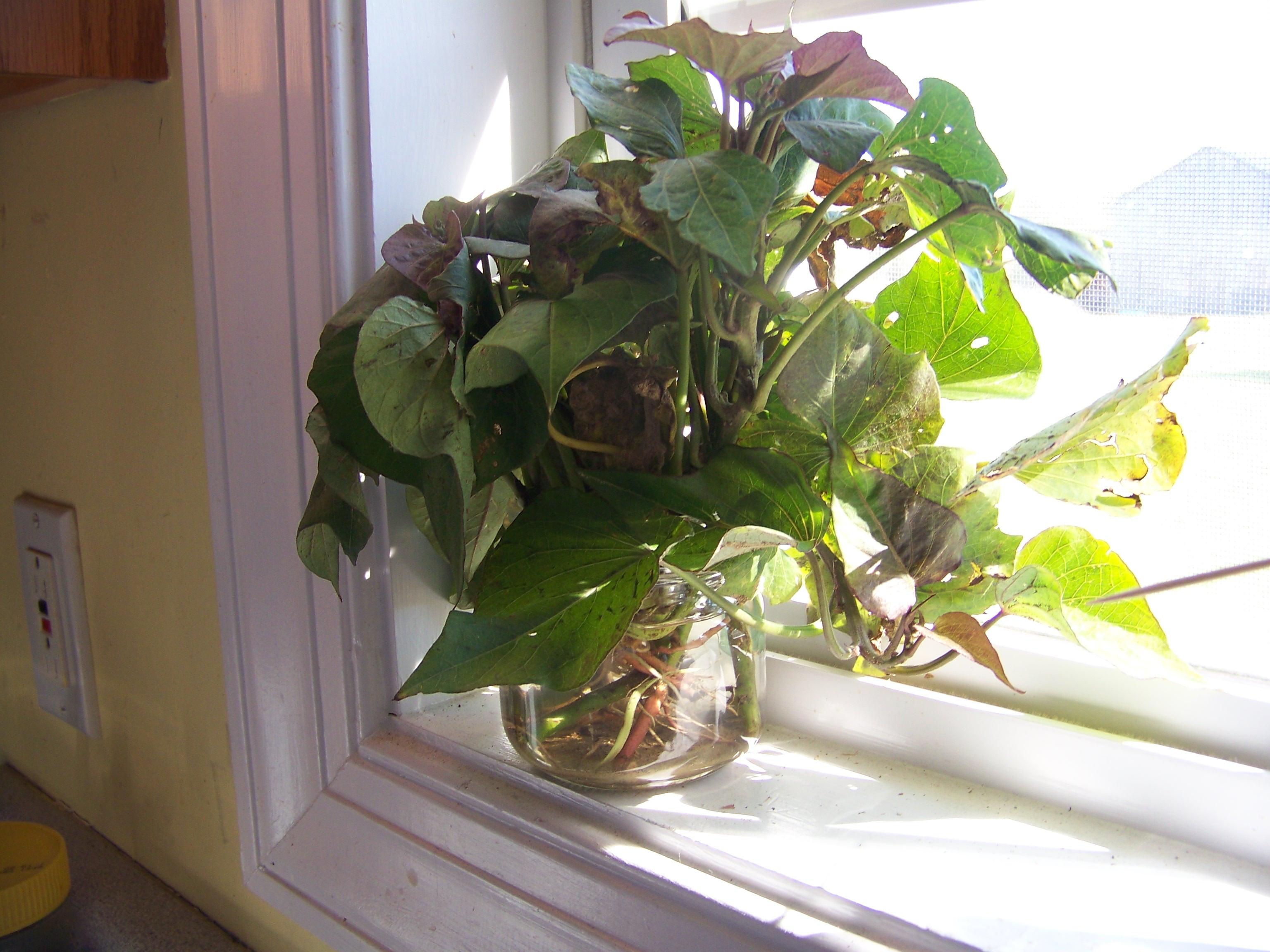 How To Grow Sweet Potato Vine  Sweet Potatoes Indoors All Winter Maybe… – Feeding My Family