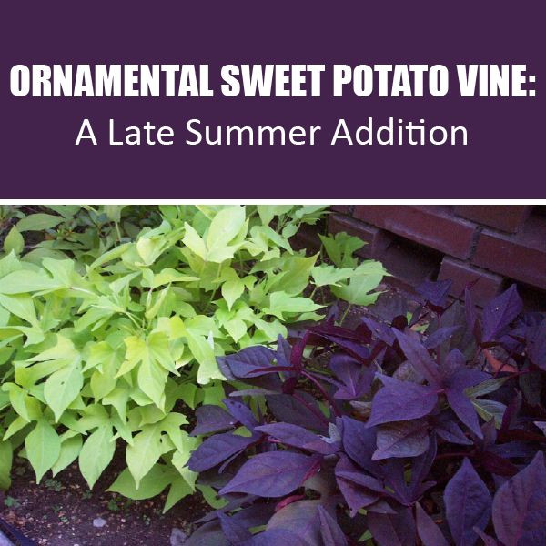 How To Grow Sweet Potato Vine  The Advantages of Growing Ornamental Sweet Potato Vine