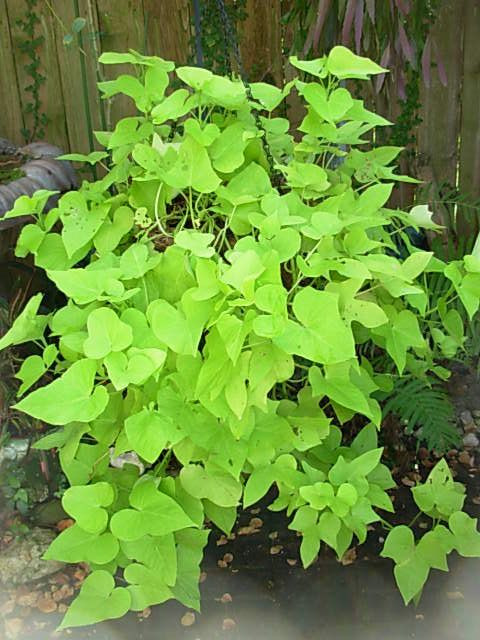 How To Grow Sweet Potato Vine  1000 images about Growing Potatoes on Pinterest