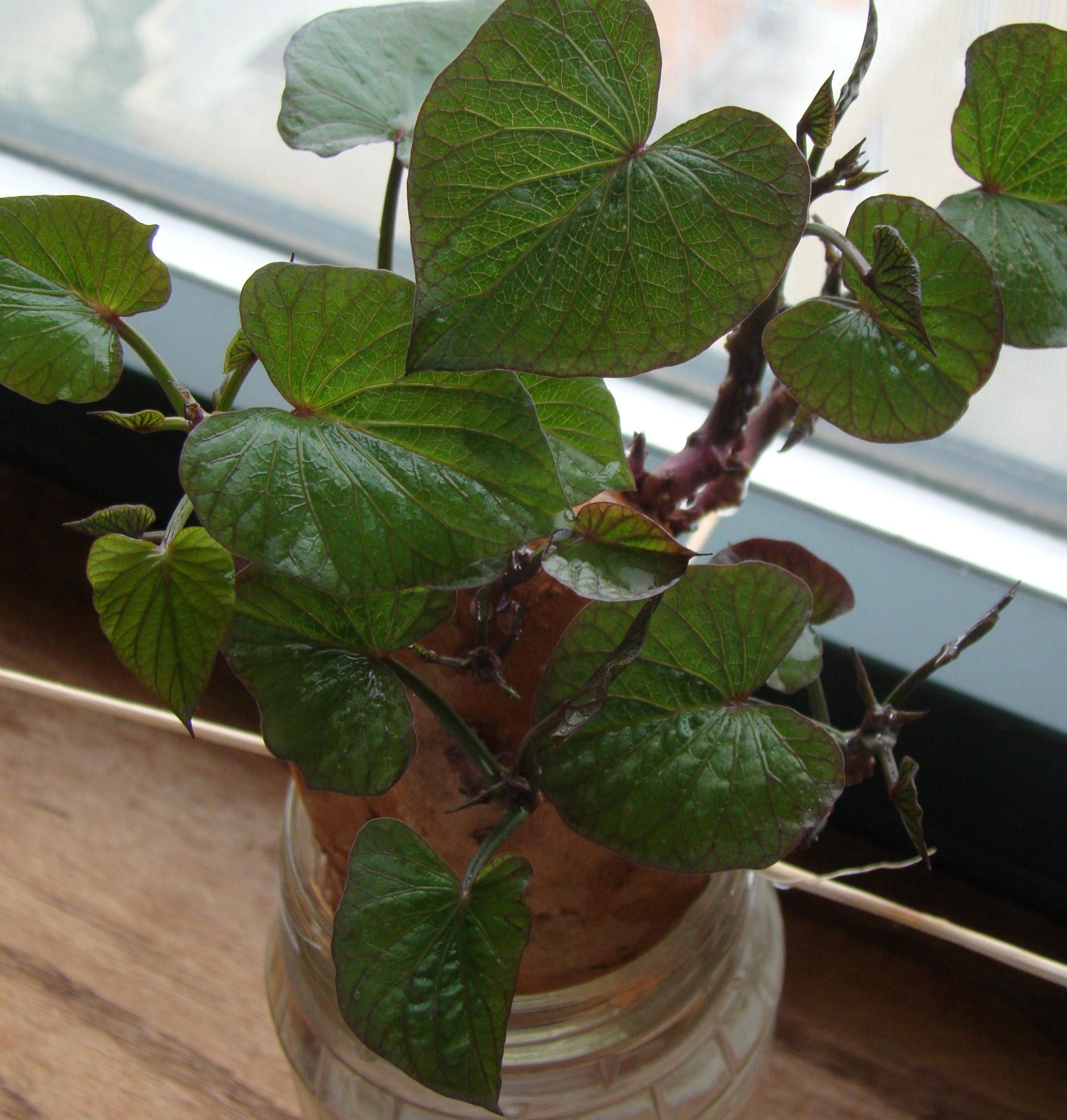 How To Grow Sweet Potato Vine  Kid stuff Sweet potato vine project has e a long way