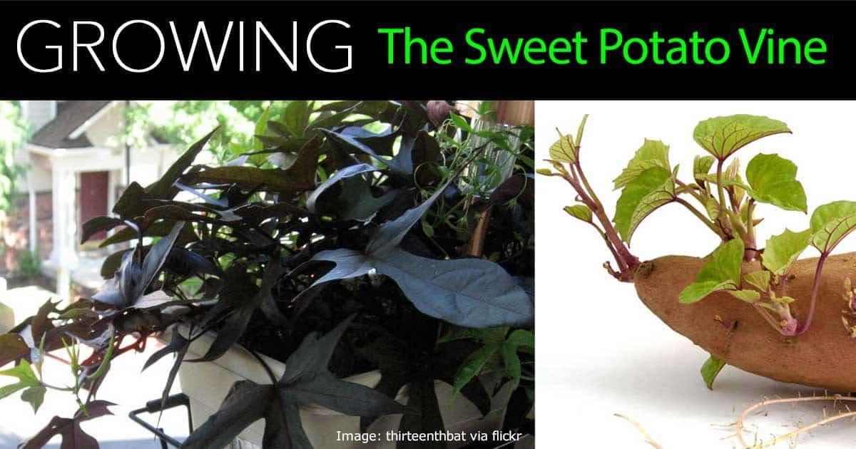 How To Grow Sweet Potato Vine  How To Care For Ornamental Sweet Potato Vine