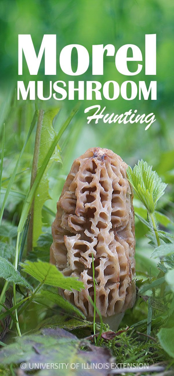 How To Store Morel Mushrooms  1000 images about Edible Wild Plants Mushrooms on