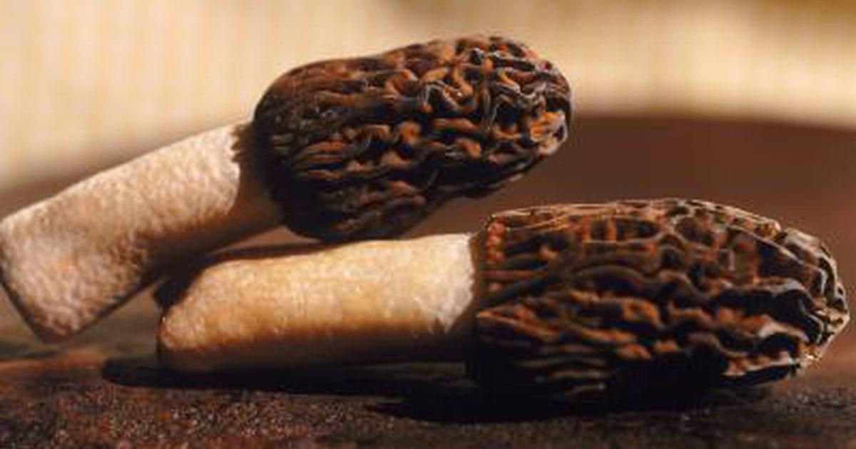 How To Store Morel Mushrooms  Nutritional Value of Morel Mushrooms
