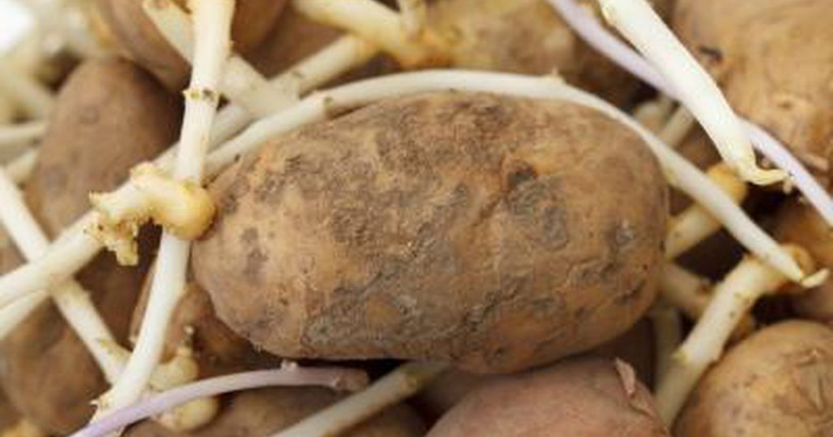 How To Tell If A Potato Is Bad  If a Potato Has Roots Should You Eat It