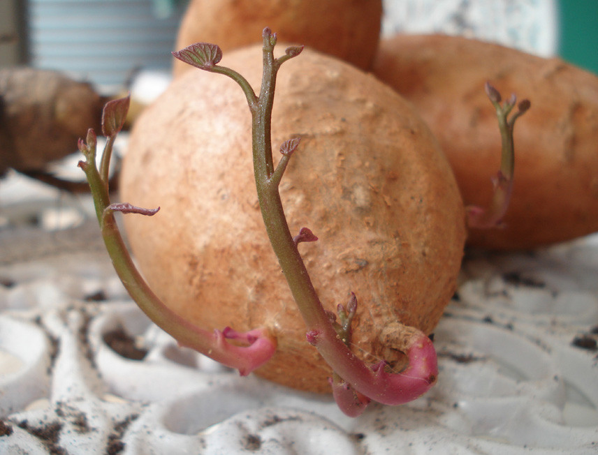 How To Tell If A Potato Is Bad  Growing sweet potatoes