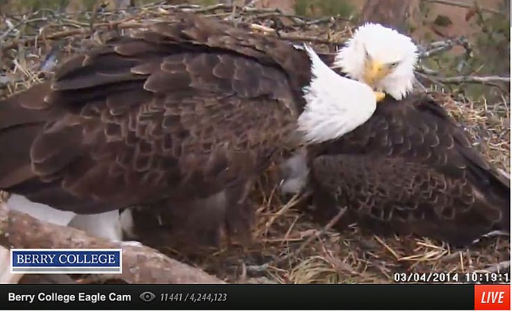 Sauces Eagle Cam  25 best ideas about Live bald eagle cam on Pinterest