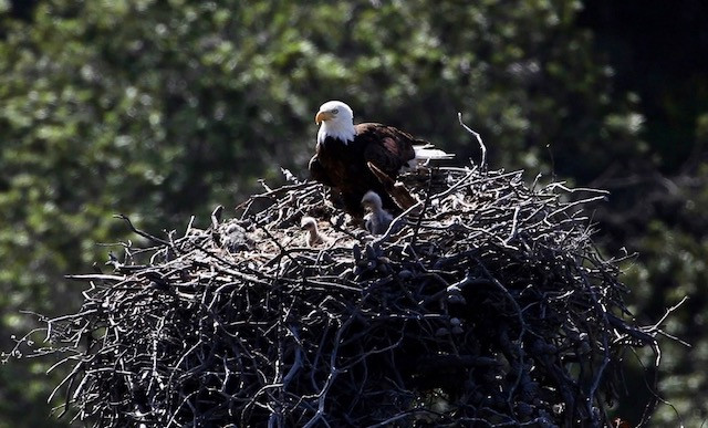 Sauces Eagle Cam  Bald eagles are nesting now and you can watch them raise