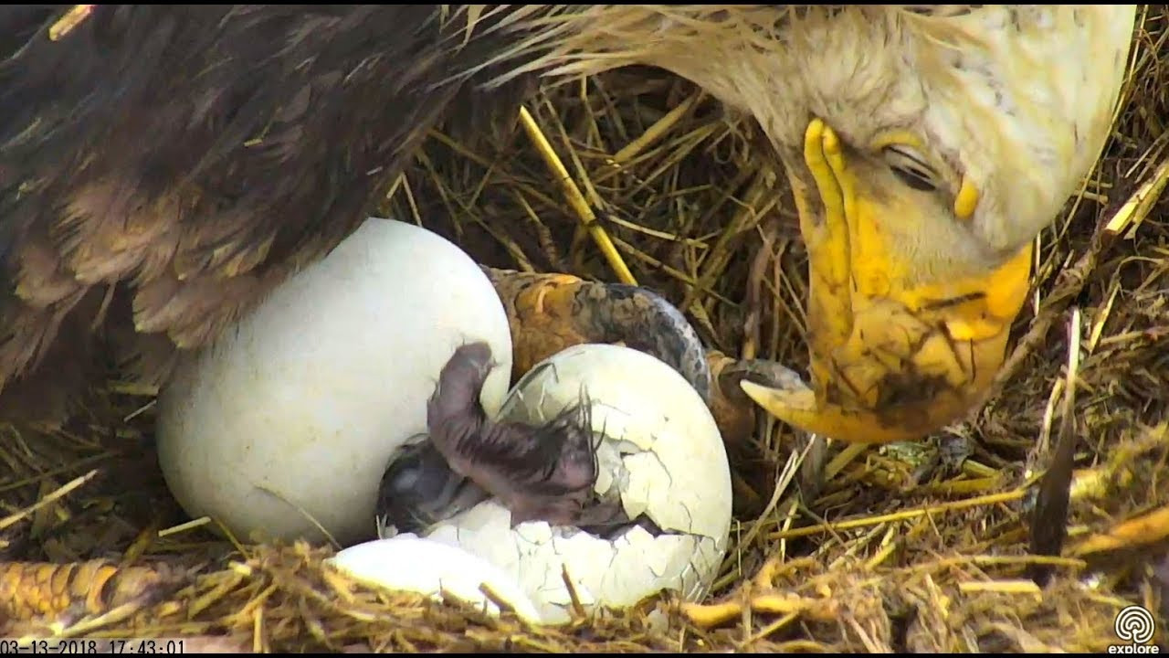 Sauces Eagle Cam  First hatch at Sauces Eagles nest 13 March 2018