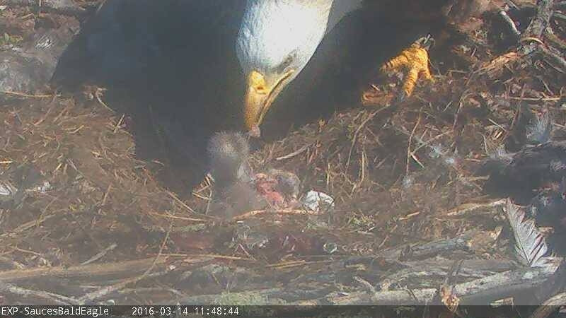 Sauces Eagle Cam  Second Chick Born Bald Eagle Live Cam