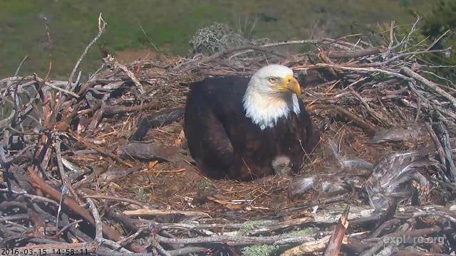 Sauces Eagle Cam  Live Webcam Shows Bald Eagle Chicks In SoCal National Park