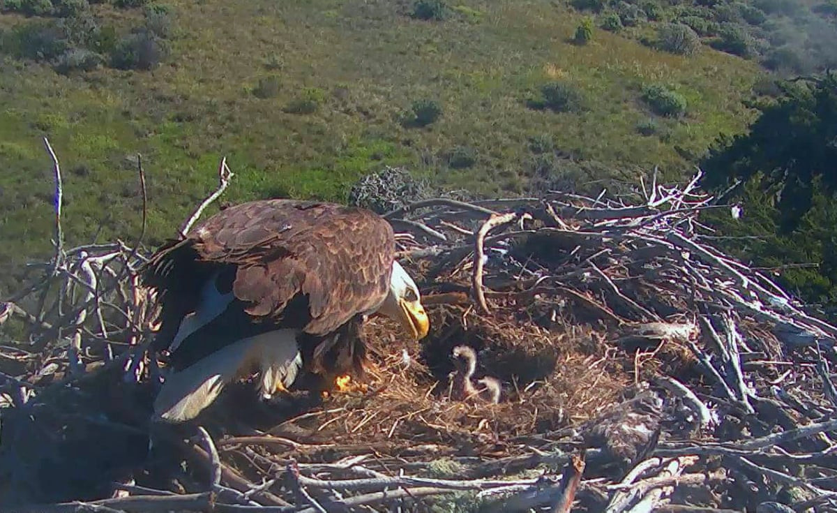 Sauces Eagle Cam  The week in wildlife – in pictures Environment