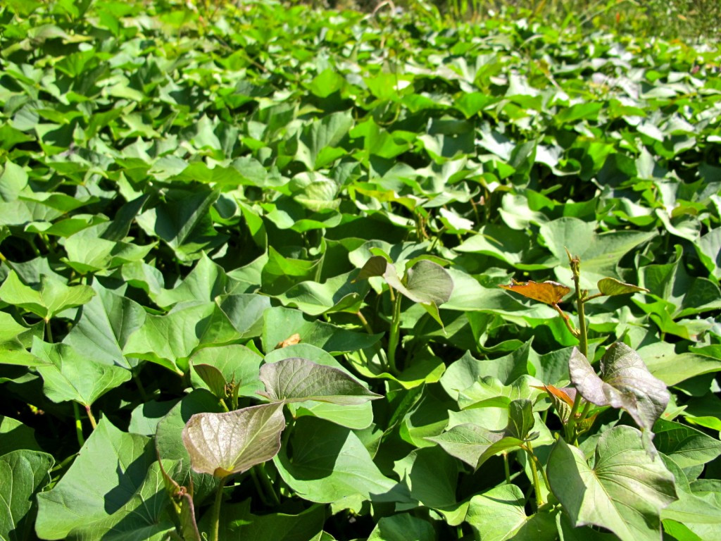Sweet Potato Plant  How to Grow Harvest and Store Sweet Potatoes The Free