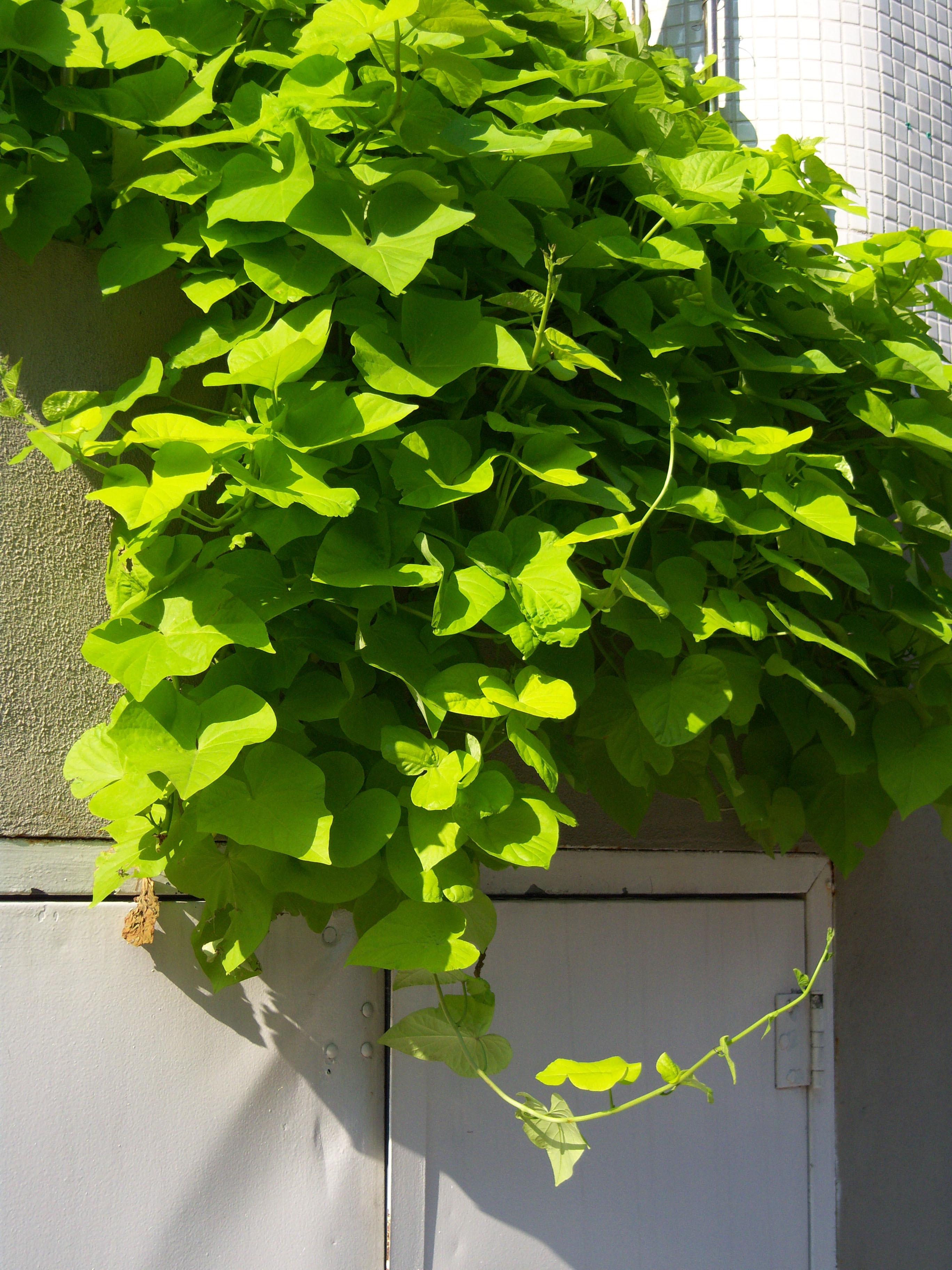Sweet Potato Plant  How to Grow Potato Vine Plant