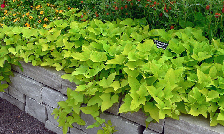 Sweet Potato Plant  Sweet Potato Vine Grow and Care for Ipomoea Batatas