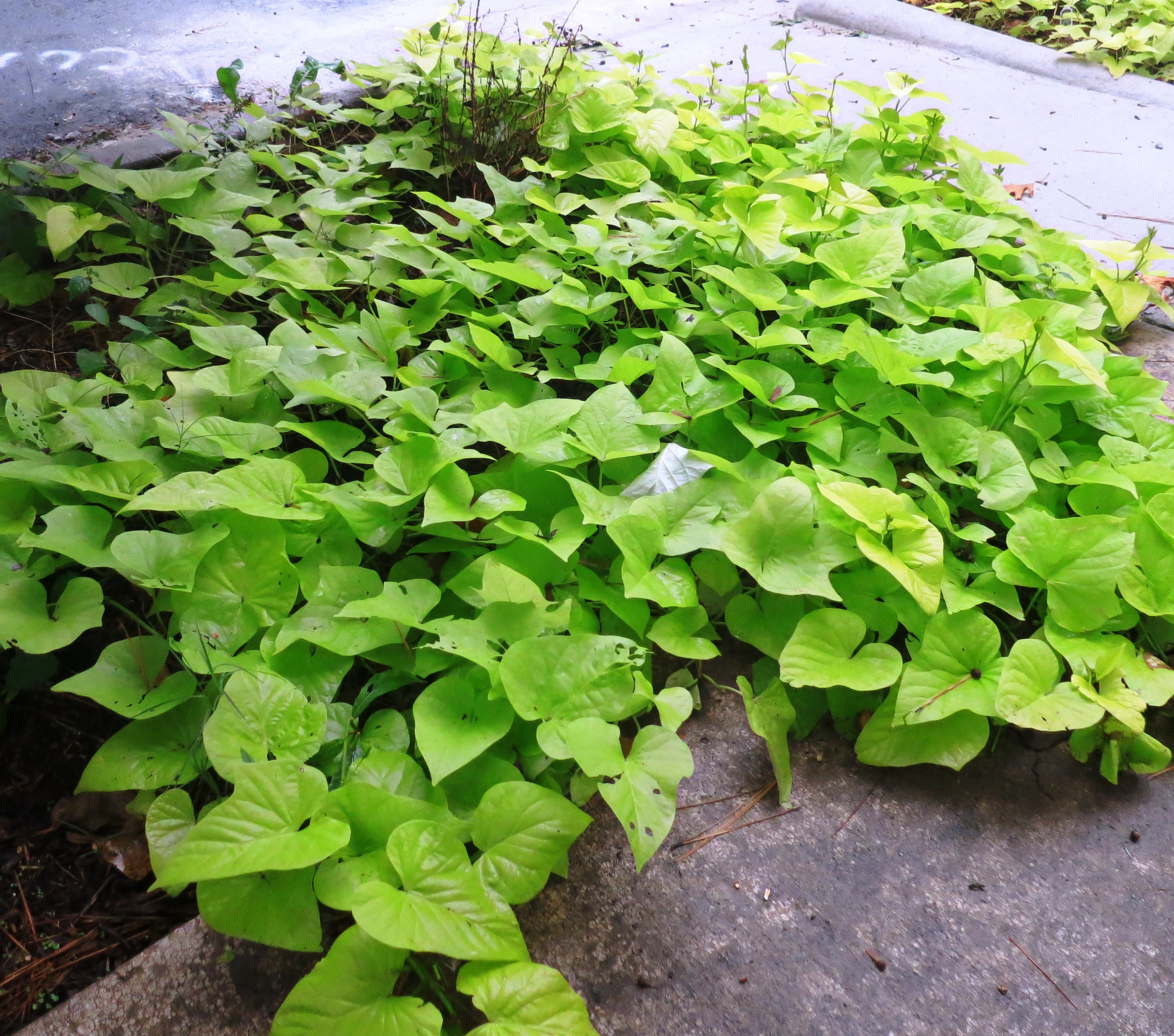 Sweet Potato Plant  A rainy Sunday and mystery plants for the week