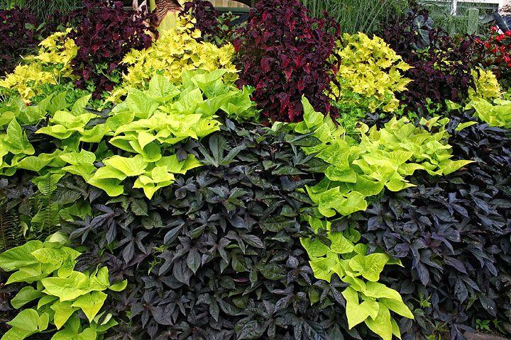 "Sweet Potato Plant  Potato Vine Black 4"" Pot 10 Per Tray Greenhouse to"