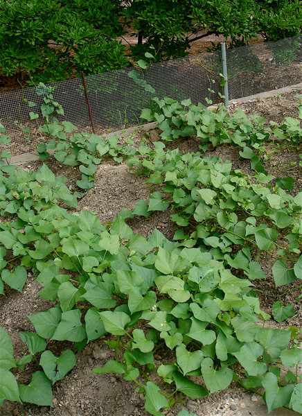 Sweet Potato Plant  Growing Sweet Potatoes Bonnie Plants