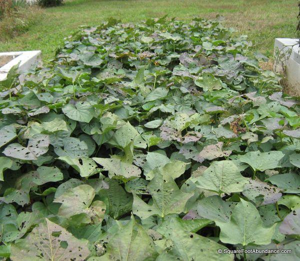 Sweet Potato Plant  Growing Sweet Potatoes in Small Gardens Abundant Mini