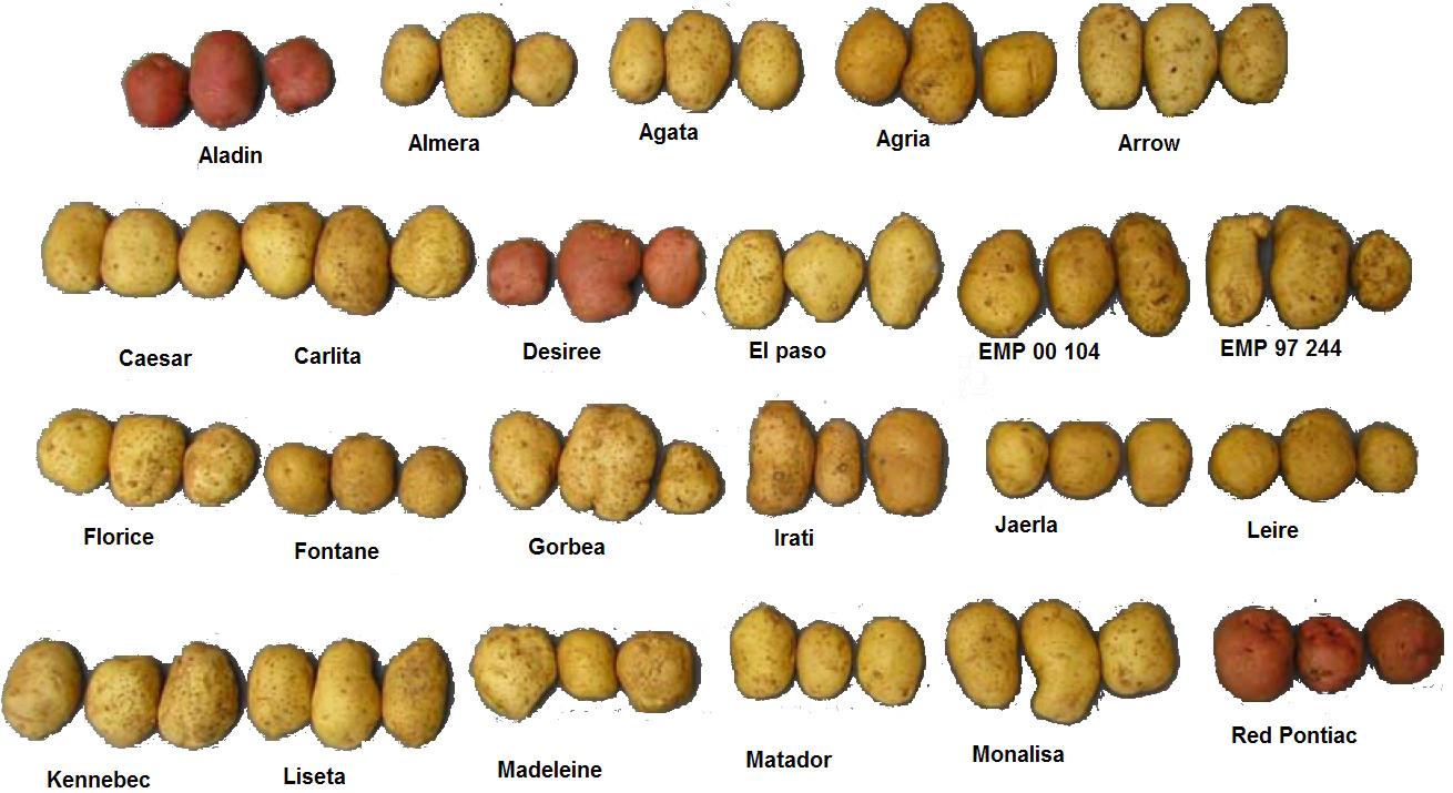 Types Of Potato  Fontane Kartoffel Wikiwand
