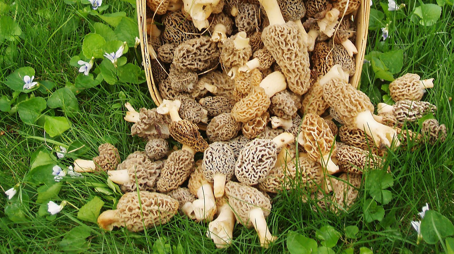 What Are Morel Mushrooms  Morel mushroom warning prices could drop 50 per cent