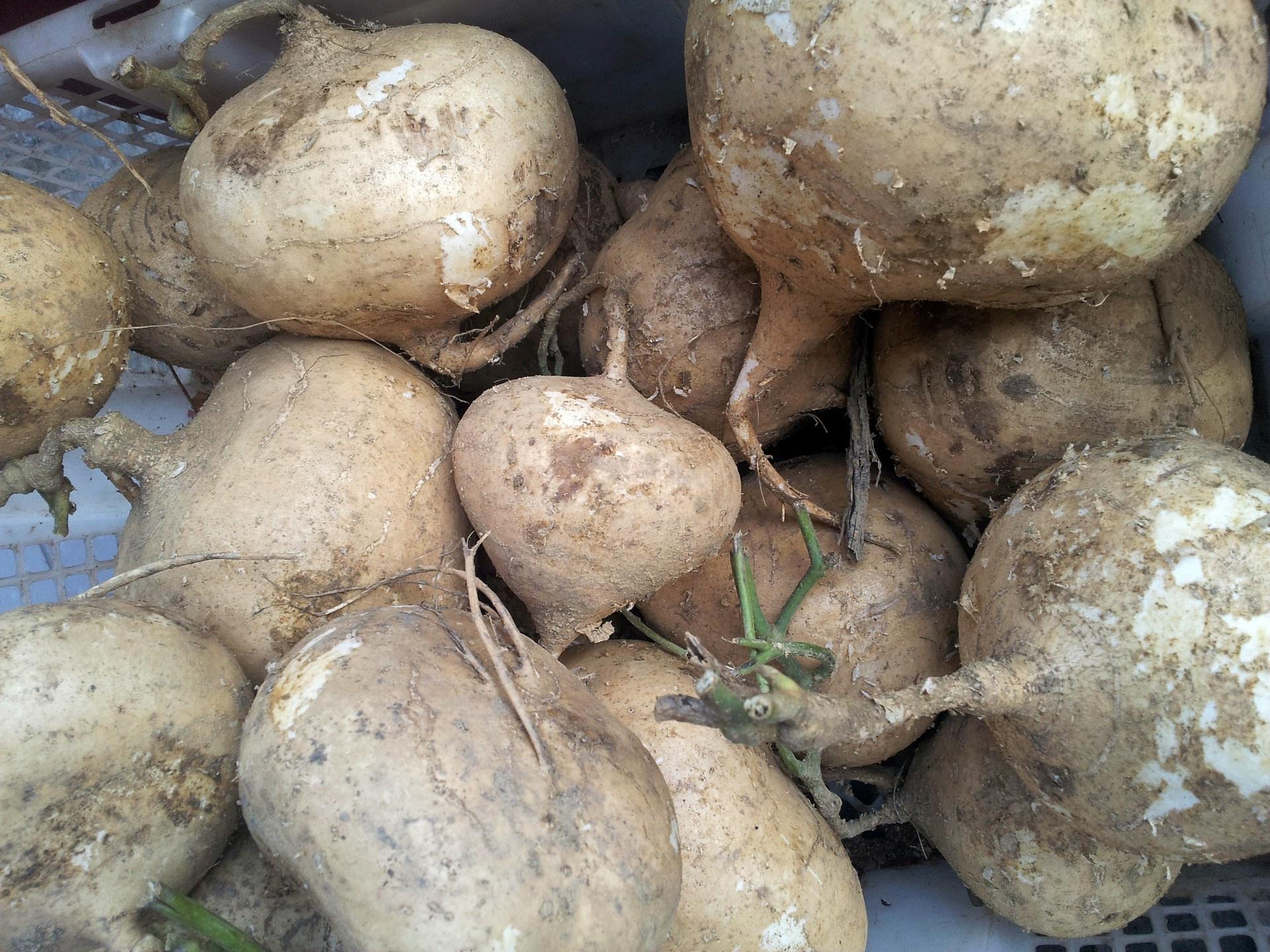 White Sweet Potato  White Sweet Potato In The Basket Free Stock Public