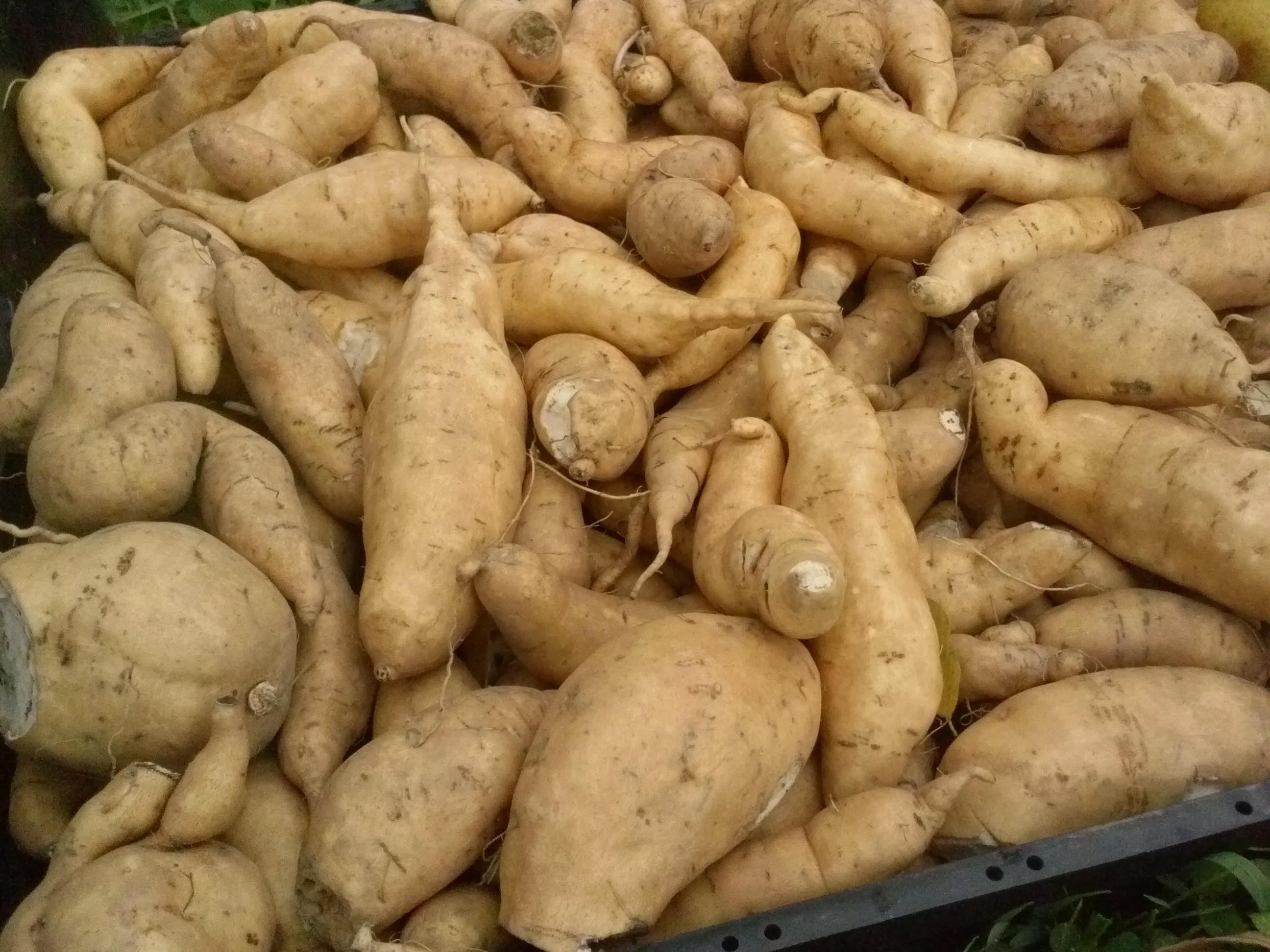 White Sweet Potato  Storing the Harvest – City mons
