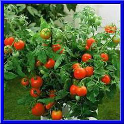 Beefsteak Tomato Plant  Bush Beefsteak Tomato Seeds LOADS OF FRUIT ON PACT