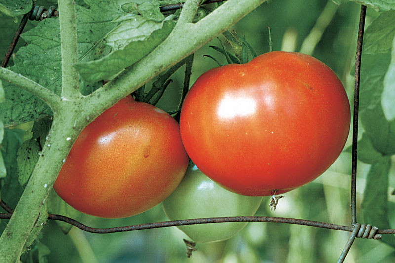Beefsteak Tomato Plant  Beefsteak Red Tomato Heirloom Seeds Pack of 10
